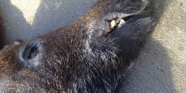 300 Blackout as a Hunting Companion for Hogs — Graphic